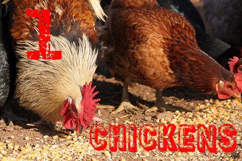 edited-Chickens_eating